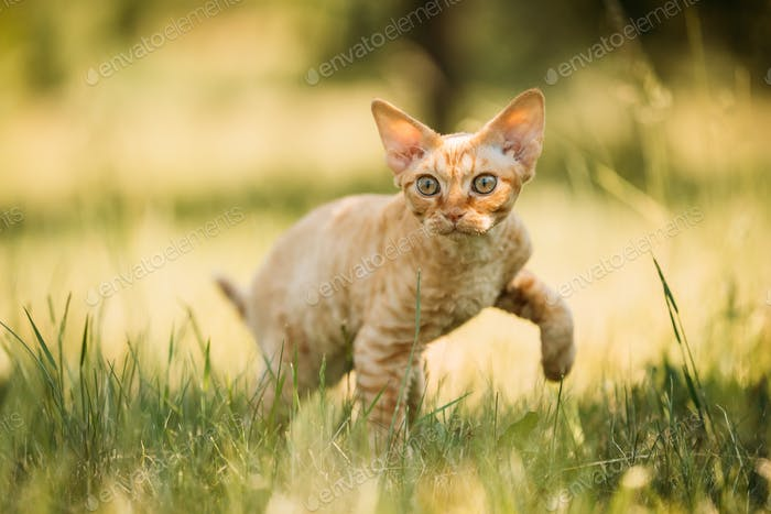 Funny Young Red Ginger Devon Rex Kitten In Green Grass. Short-ha
