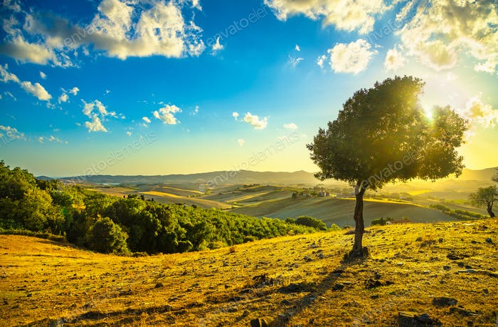Tuscany countryside panorama and windy olive tree on sunset. Pis
