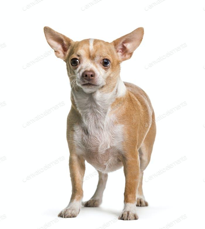 Stehender Chihuahua Hund, Haustier, Ausschnitt