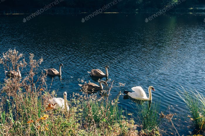 Beautiful swan family swimming in lake in sunny autumn woods