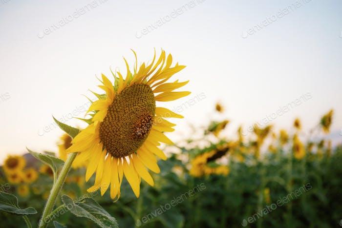 Sunflower at sky