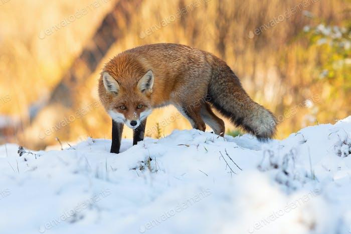 Aufmerksamer Rotfuchs hockt im Winter auf Wiese