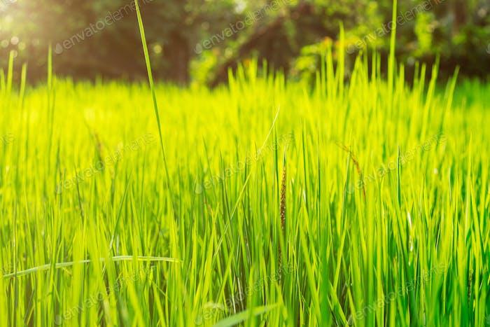 Reisblätter auf Feld