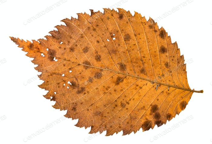 back side of autumn decayed holey leaf of elm tree