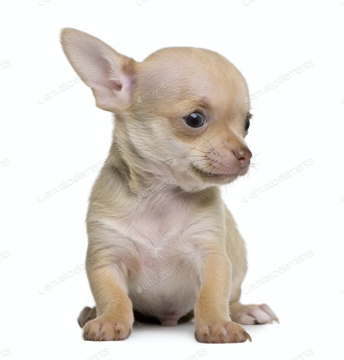 Chihuahua puppy, 8 weeks old, sitting in front of white background