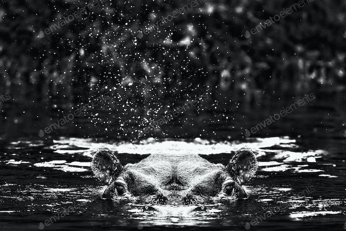A hippopotamus swimming with just head and ears above water in he Kazinga Channel in Uganda.