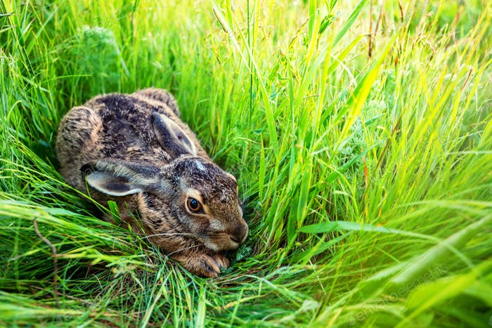 European hare or Lepus europaeus sits in a meadow