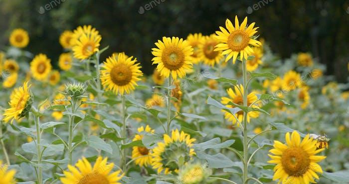 Sunflower meadow field