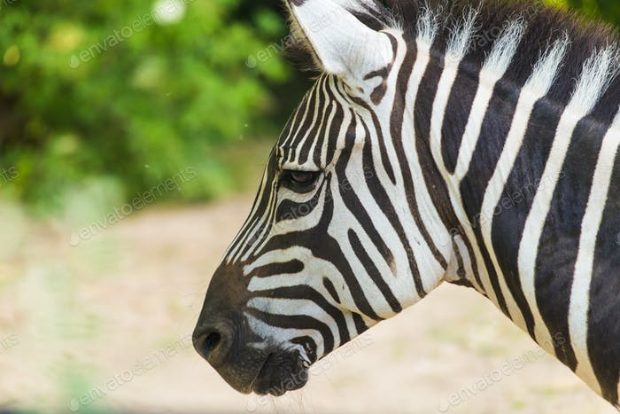 Zebra close up portrait. Wild animal in nature
