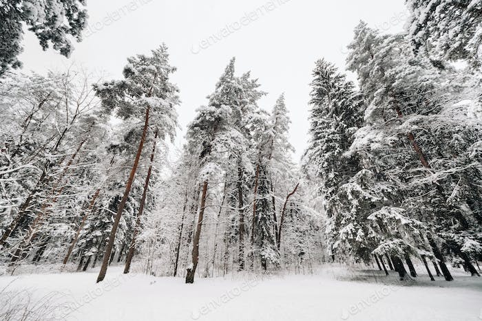 winter forest with snow-covered trees in winter.Lots of Snow on the Christmas trees