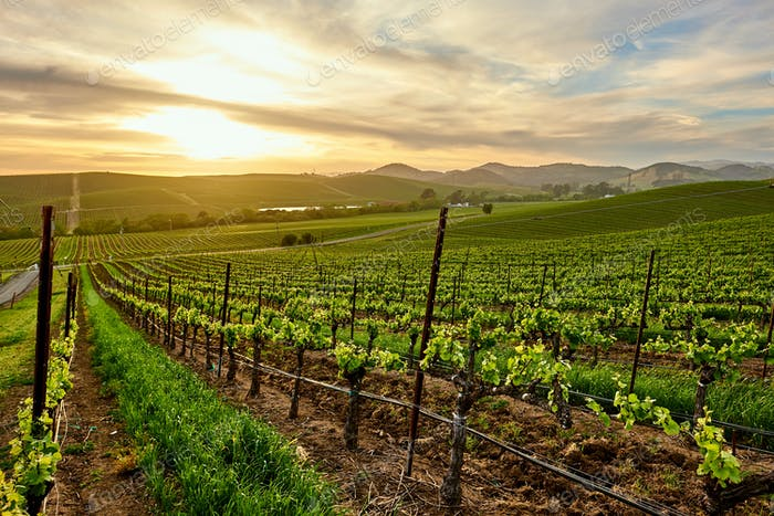 Vineyards at sunset in California, USA