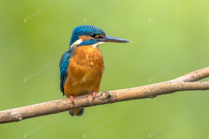 European kingfisher perched on branch with colorful background