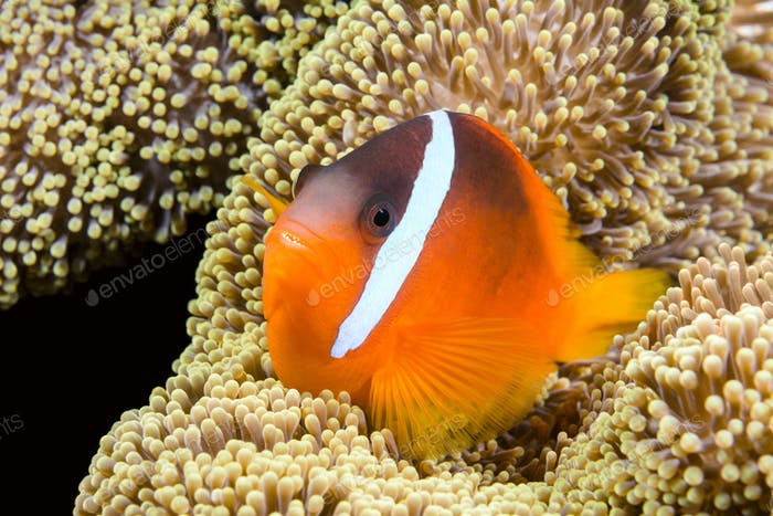 Playful orange clownfish