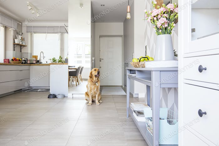Happy dog sitting in open space kitchen interior in real photo w