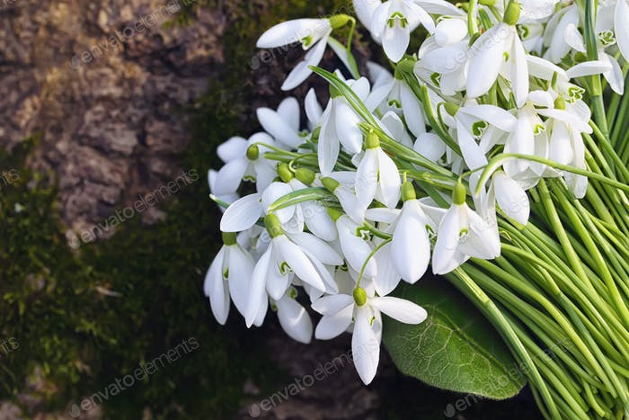bouquet of Spring snowdrop flowers blooming in sunny day