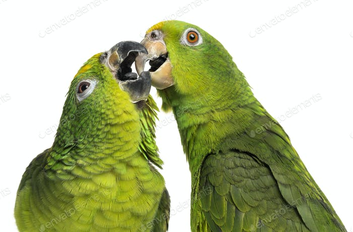 Close-up of a Panama Amazon and Yellow-crowned Amazon pecking, isolated on white