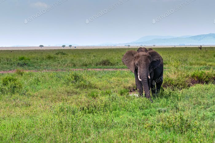 African elephant or Loxodonta cyclotis in nature
