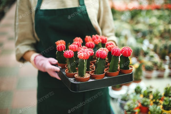 Close up woman hands in pink gloves holding tray with little cactus flowers in pots in greenhouse
