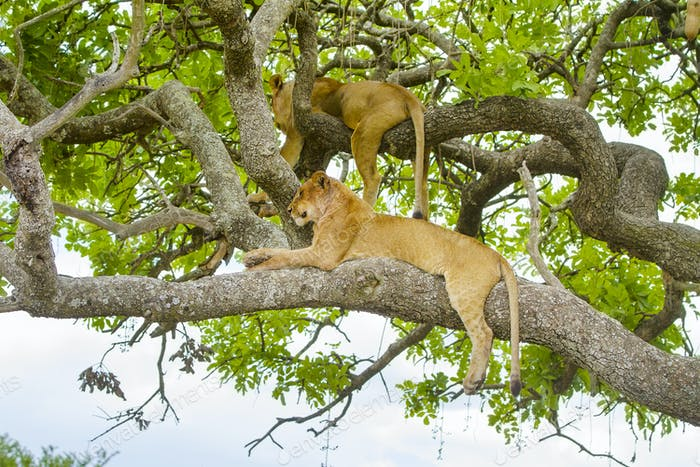 Lions rests in tree a hot day at Serengeti