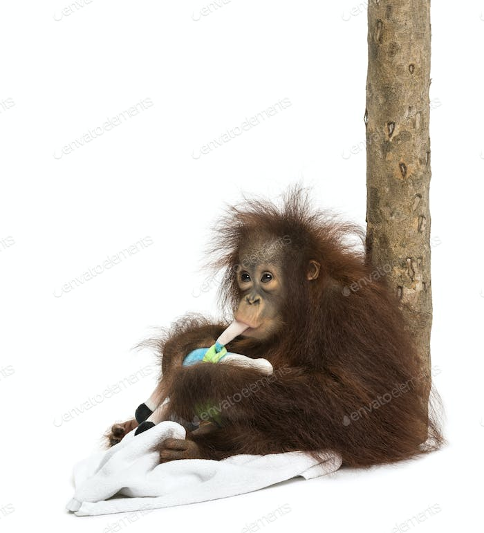 Young Bornean orangutan leant against a tree trunk, chewing its stuffed toy, 18 months old