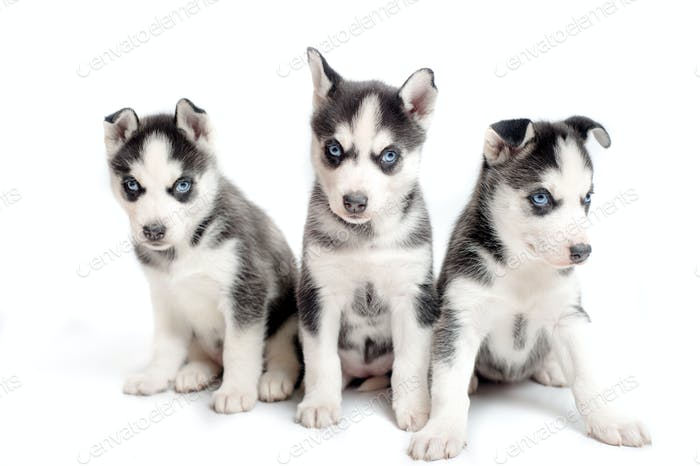 Three playful siberian husky puppies