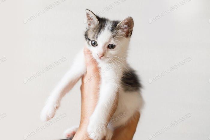 Entzückendes kleines Kätzchen in Händen auf weißem Hintergrund