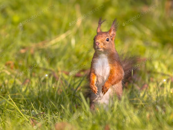 Red squirrel in grass