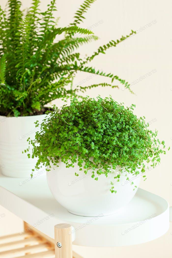 houseplants Nephrolepis, Soleirolia soleirolii in white flowerpots