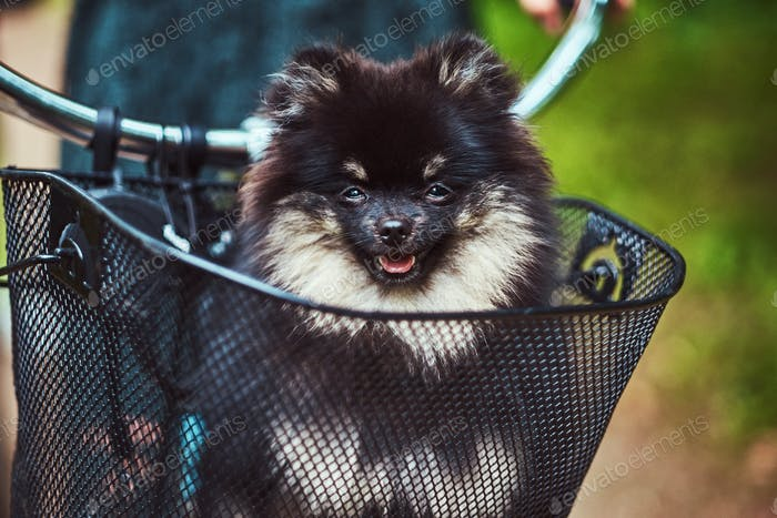 Cute Spitz dog in the bicycle basket on a ride.