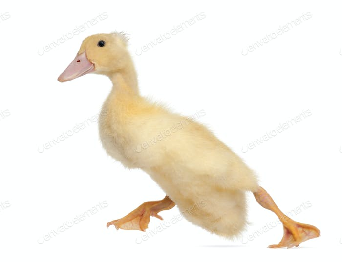 Duckling running against white background
