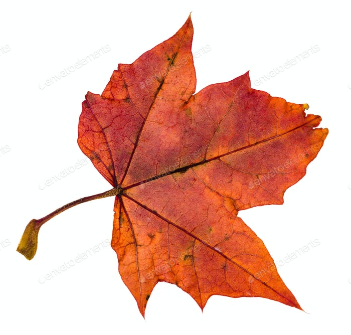 back side of red autumn leaf of maple tree