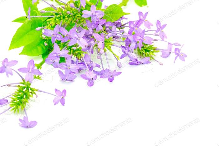 Violett Ixora
