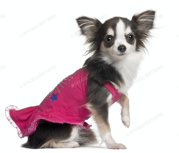 Chihuahua in pink, 1 year old, sitting in front of white background