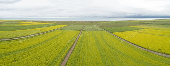 Aerial drone panorama view of cole flower filed in China