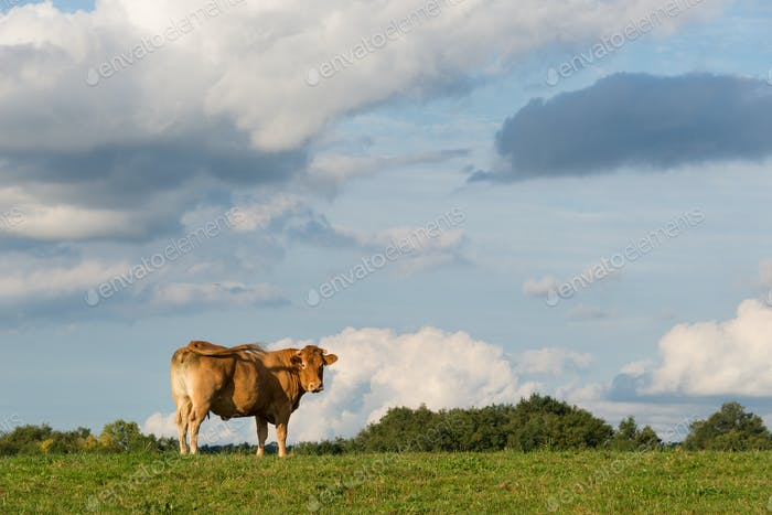 Aquitaine cow in a field