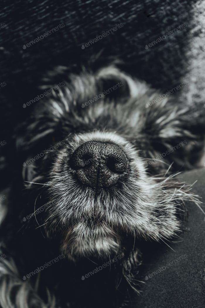 Schönes Porträt eines schwarz-weißen Cocker Spaniel