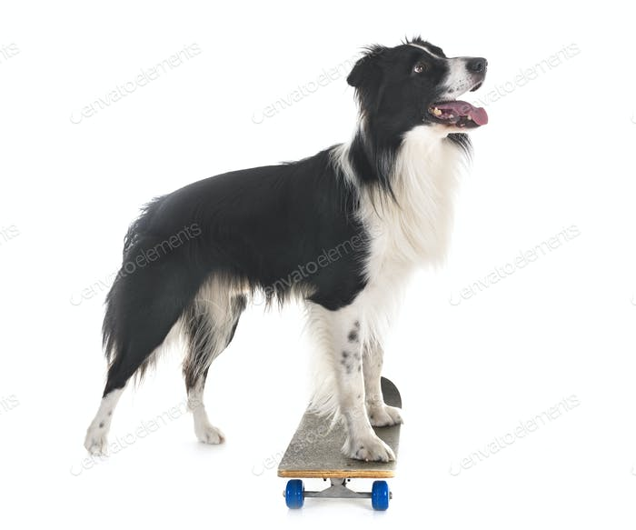 border collie and skateboard