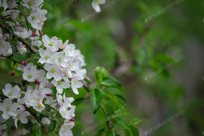 Environmentally friendly garden. Many white flowers and green leaves on branch of apple tree