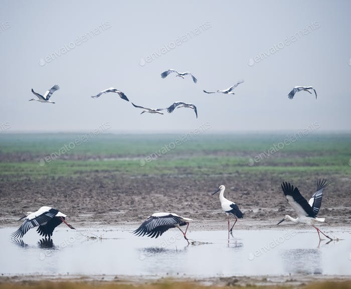 beautiful oriental white stork, jiangxi poyang lake