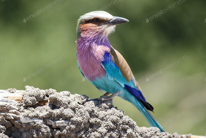 Lilac Breasted Roller - Chobe N.P. Botswana, Africa