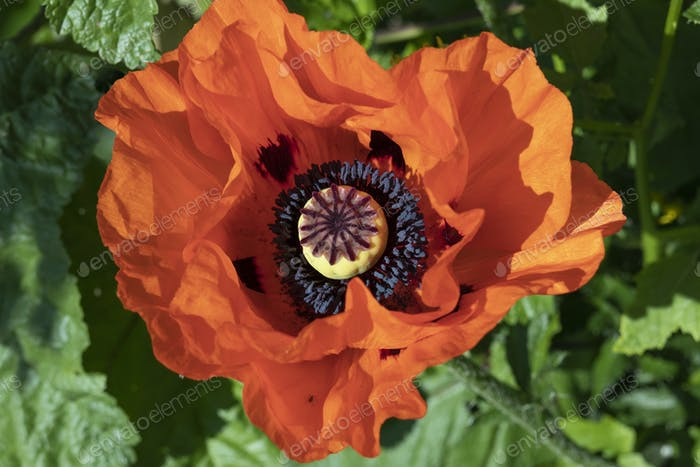Red flowering poppy