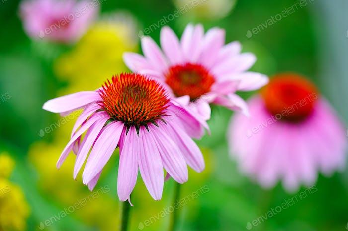 Blooming Echinacea purpurea, medicinal herb