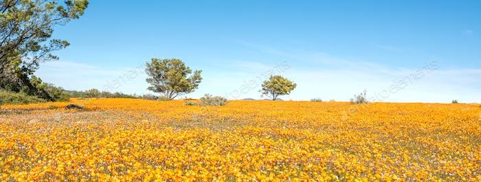 Sea of orange daisies at Skilpad