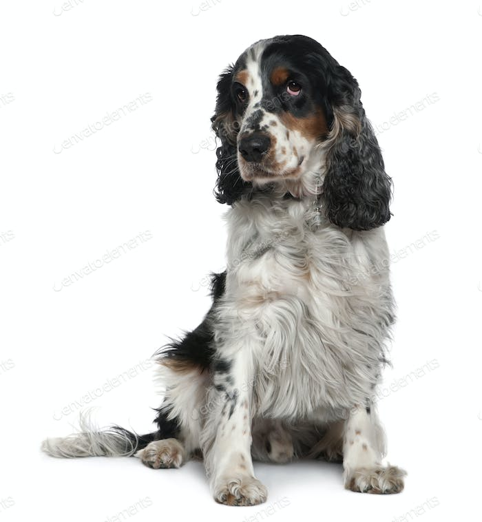 Thumbnail for English Cocker spaniel, 4 years old, sitting in front of white background