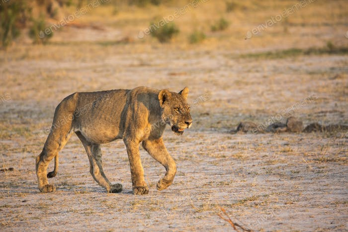 A lion walking across open space at sunset.