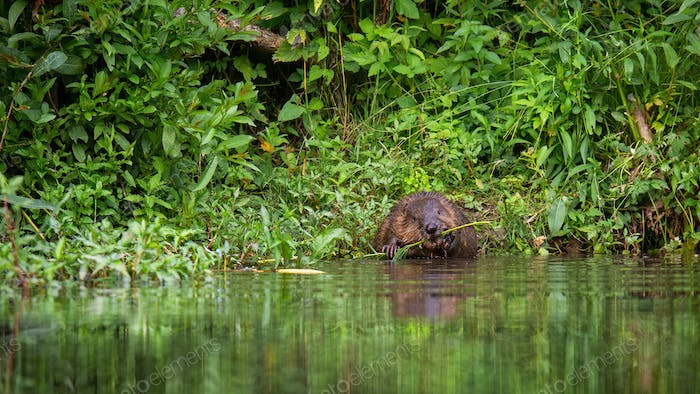 Beaver holding a fresh branch in paws and gnawing it with teeth on riverbank