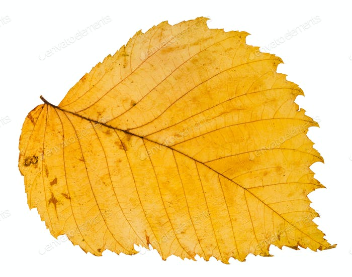 yellow autumn leaf of elm tree isolated