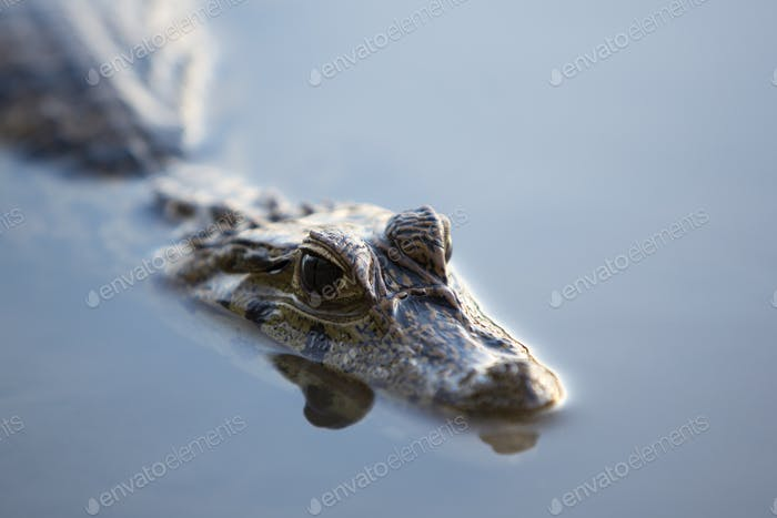 Caiman in still water at Madidi near Rurrenabaque, Bolivia