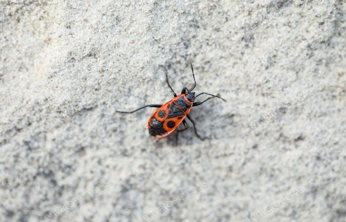 Closeup of firebug.