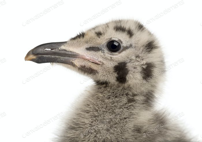 European Herring Gull chick, Larus argentatus, 1 month old against white background